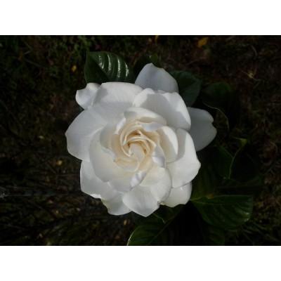 Gardenia Enfleurage Oil